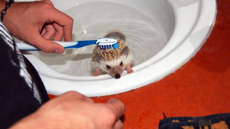 How to Bathe Your Pet Hedgehog | Hedgehogs as Pets