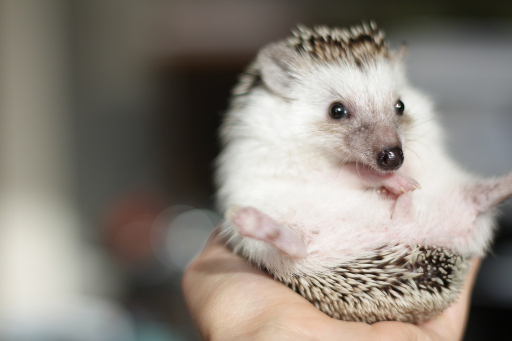Handling Your Pet Hedgehog