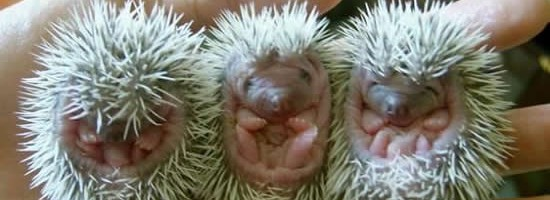 Three baby hedgehogs