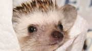Leo the Hedgehog - Photo by Ian and Julie