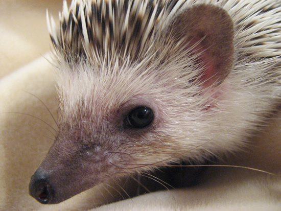 How to Care for Pet Hedgehogs – The Basics