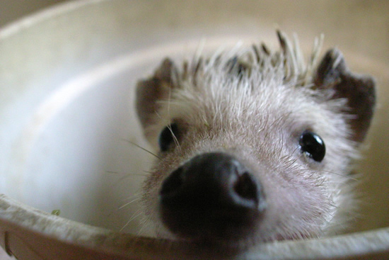 What is Wobbly Hedgehog Syndrome (WHS)