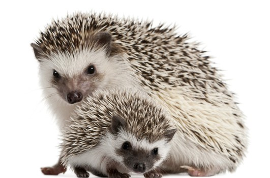 What Bedding Is Best For Hedgehogs