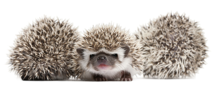 Eight Top Facts About Pet Hedgehogs